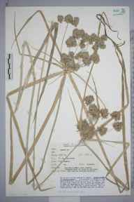Cyperus  herbarium specimen from Pett Level, VC14 East Sussex in 2003 by Peter Charles Holland.