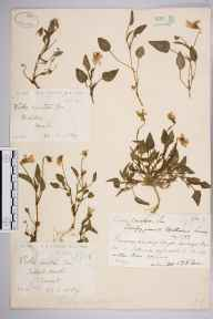 Viola lactea herbarium specimen from Talbot Heath, VC9 Dorset in 1889 by Rev. Edward Francis Linton.