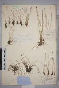 Eleocharis quinqueflora herbarium specimen from Scilly, VC1 West Cornwall.