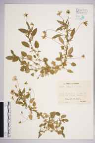 Viola tricolor herbarium specimen from Combwell Wood, VC16 West Kent in 1944 by Mr Job Edward Lousley.