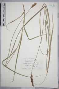 Carex disticha herbarium specimen from Morden Hall Park, VC17 Surrey by Mr Edward Charles Wallace.