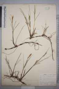 Carex arenaria herbarium specimen from Hayle, VC1 West Cornwall in 1901 by Mr Frederick Hamilton Davey.