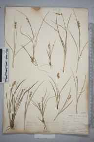 Carex echinata herbarium specimen from Perranwell Station, VC1 West Cornwall in 1901 by Mr Frederick Hamilton Davey.