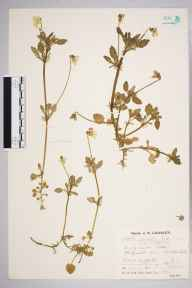 Viola variata herbarium specimen from Mildenhall, VC26 West Suffolk in 1932 by Mr Job Edward Lousley.
