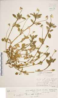 Viola variata var. sulphurea herbarium specimen from Mildenhall, VC26 West Suffolk in 1932 by Mr Job Edward Lousley.