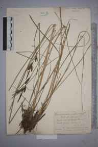 Carex nigra x elata = C. x turfosa herbarium specimen from Hedgecourt Lake, VC17 Surrey in 1886 by Mr William Hadden Beeby.