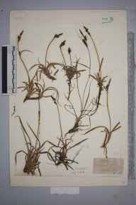 Carex bigelowii herbarium specimen collected by Mr George Nicholson.
