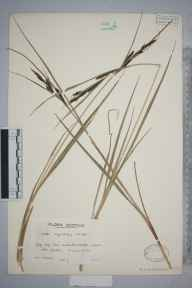 Carex aquatilis herbarium specimen from White Water, VC90 Angus in 1935 by Mr Edward Charles Wallace.