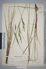 Carex aquatilis herbarium specimen from Tom Buidhe, Glen Clova, VC90 Angus in 1935 by Mr Edward Charles Wallace.