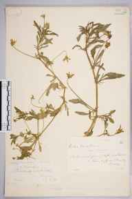 Viola tricolor var. arvensis herbarium specimen from Bramley, VC17 Surrey in 1883 by Mr William Hadden Beeby.
