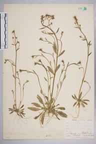 Arabidopsis thaliana herbarium specimen from Hayes Common, VC16 West Kent in 1902 by William Henry Griffin.
