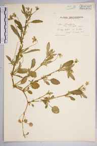 Viola obtusifolia herbarium specimen from Rake, VC13 West Sussex in 1936 by Mr Edward Charles Wallace.
