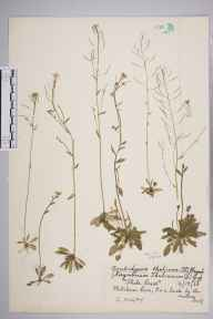 Arabidopsis thaliana herbarium specimen from Mitcham Common, VC17 Surrey in 1960 by Charles Avery.