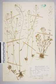 Arabidopsis thaliana herbarium specimen from Oxted, VC17 Surrey in 1962 by Peter Charles Holland.