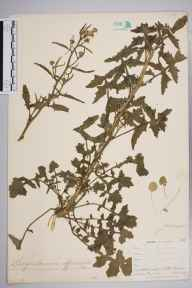 Sisymbrium officinale herbarium specimen from Lizard, VC1 West Cornwall in 1899 by Mr Allan Octavian Hume.