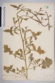 Sisymbrium officinale herbarium specimen from Ongar, VC19 North Essex in 1904 by Mr Allan Octavian Hume.
