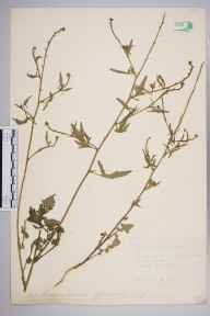 Sisymbrium officinale herbarium specimen from Chatteris, VC29 Cambridgeshire in 1886 by Mr Alfred Fryer.