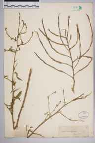 Sisymbrium officinale herbarium specimen from Lewes, VC14 East Sussex in 1857 by Joseph Woods.