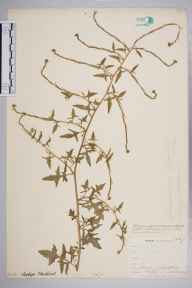 Sisymbrium officinale herbarium specimen from Catford, VC16 West Kent in 1903 by William Henry Griffin.