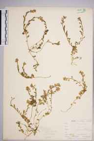 Polygala calcarea herbarium specimen from Downe, VC16 West Kent in 1901 by William Henry Griffin.