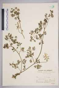Fumaria occidentalis herbarium specimen from Saint Mary's, Scilly Isles, VC1 West Cornwall in 1936 by Mr Job Edward Lousley.