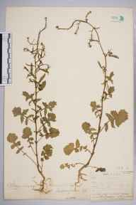 Sisymbrium officinale herbarium specimen from Leith Docks, VC83 Midlothian in 1905 by James Fraser.