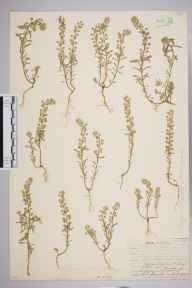 Alyssum alyssoides herbarium specimen from Brandon, VC26 West Suffolk in 1907 by Henry Dixon Hewitt.