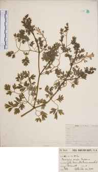 Fumaria reuteri herbarium specimen from Perranarworthal, Gilly Farm, Tresamble, VC1 West Cornwall in 1906 by Mr Frederick Hamilton Davey.