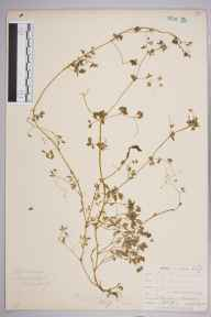 Fumaria muralis subsp. boraei herbarium specimen from Instow, VC4 North Devon in 1901 by Mr Allan Octavian Hume.
