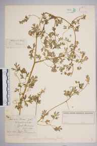 Fumaria muralis subsp. boraei herbarium specimen from Great Malvern, VC37 Worcestershire in 1881 by Mr Frederick Townsend.