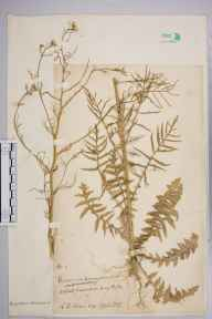Sisymbrium pannonicum herbarium specimen from Acton, VC21 Middlesex in 1903 by Charles Baylis Green.