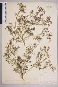 Fumaria officinalis herbarium specimen from Downe, VC16 West Kent by William Henry Griffin.
