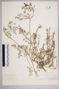 Fumaria officinalis herbarium specimen from Aldbury, VC20 Hertfordshire in 1926 by Mr Isaac A Helsby.