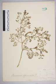 Fumaria officinalis herbarium specimen from Cudham, VC16 West Kent in 1903 by William Henry Griffin.
