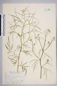 Sisymbrium pannonicum herbarium specimen from Sandwich, VC15 East Kent in 1962 by Peter Charles Holland.