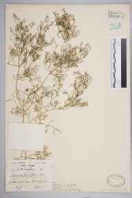Fumaria parviflora herbarium specimen from Alresford, VC12 North Hampshire in 1946 by Mr Job Edward Lousley.