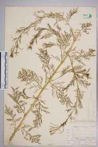 Descurainia sophia herbarium specimen from Ipswich, VC25 East Suffolk in 1905 by William Henry Griffin.