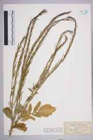 Barbarea vulgaris herbarium specimen from Great Bookham Common, VC17 Surrey in 1953 by Edward Benedict Bangerter.