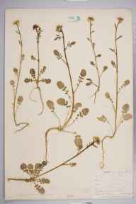Barbarea verna herbarium specimen from Bissoe, VC1 West Cornwall in 1901 by Mr Allan Octavian Hume.