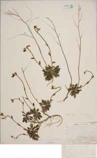 Arabis scabra herbarium specimen from Leigh Woods, VC6 North Somerset in 1905 by Mr Allan Octavian Hume.
