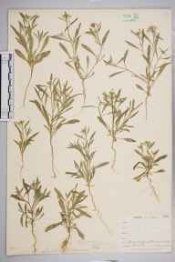 Lobularia maritima herbarium specimen from Ponsanooth, VC1 West Cornwall in 1900 by Mr Frederick Hamilton Davey.
