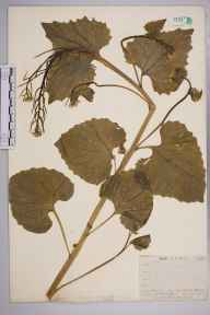 Alliaria petiolata herbarium specimen from Dartford Heath, VC16 West Kent in 1910 by William Henry Griffin.
