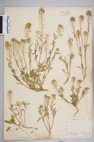 Lobularia maritima herbarium specimen from Saint Mawes, VC2 East Cornwall in 1900 by Mr Frederick Hamilton Davey.