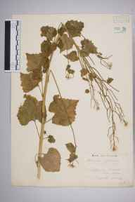 Alliaria petiolata herbarium specimen from Chiswick, Duke's Meadows, VC21 Middlesex in 1939 by Edward Benedict Bangerter.