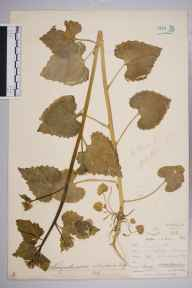 Alliaria petiolata herbarium specimen from Sydenham Hill Station, VC17 Surrey in 1900 by Mr Allan Octavian Hume.