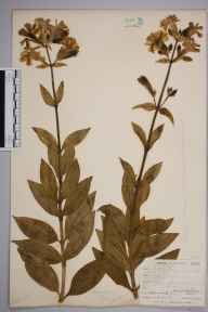 Saponaria officinalis herbarium specimen from West Looe, VC2 East Cornwall in 1900 by Mr Allan Octavian Hume.