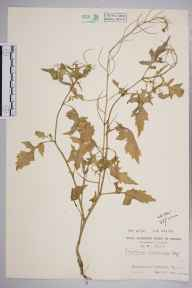 Sisymbrium erysimoides herbarium specimen from Blackmoor, VC12 North Hampshire in 1959 by Lady Anne Beatrice Mary Brewis.