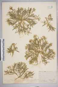 Lobularia maritima herbarium specimen from Hayes, VC16 West Kent in 1912 by William Henry Griffin.