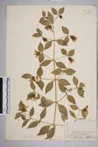 Cucubalus baccifer herbarium specimen from Norwood, VC17 Surrey in 1909 by William Henry Griffin.