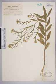 Erysimum cheiranthoides herbarium specimen from Cawood, VC61,VC64 in 1914 by Dr William Arthur Sledge.